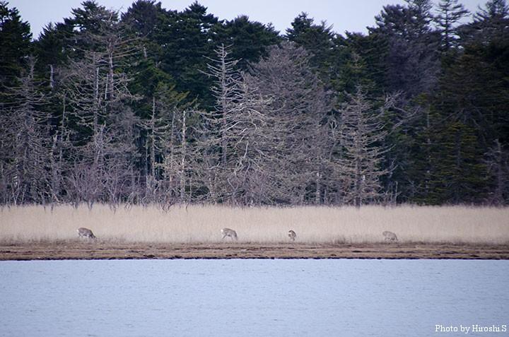 湖水と森に囲まれた湿原へ、鹿が姿を現した。
