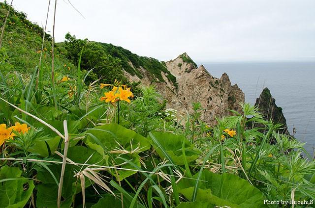 島武意海岸では、エゾカンゾウが満開であった。