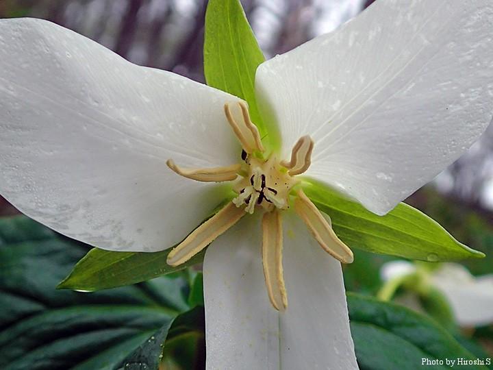 オオバナノエンレイソウの名前の通り、花はとても大きい。