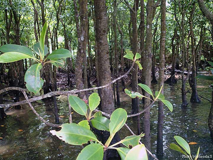 マングローブ林の中は、水が行き渡り、魚も散っている様だ。