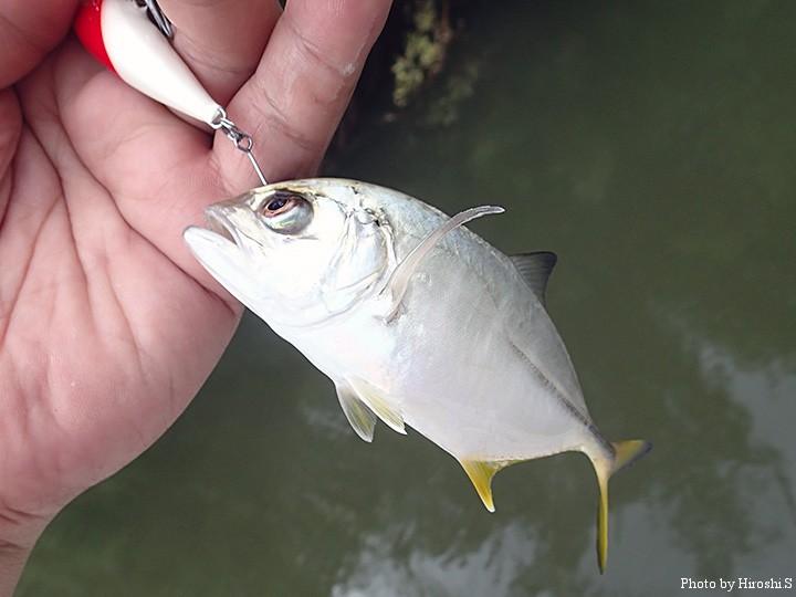 喰ってはきたが、フッキングはスレ。恐らく、オニヒラアジの幼魚。