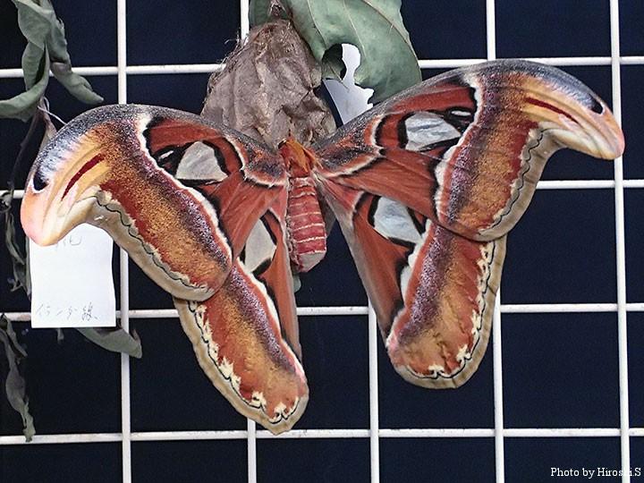 ヨナグニサン(アヤミハビル)日本最大の蛾