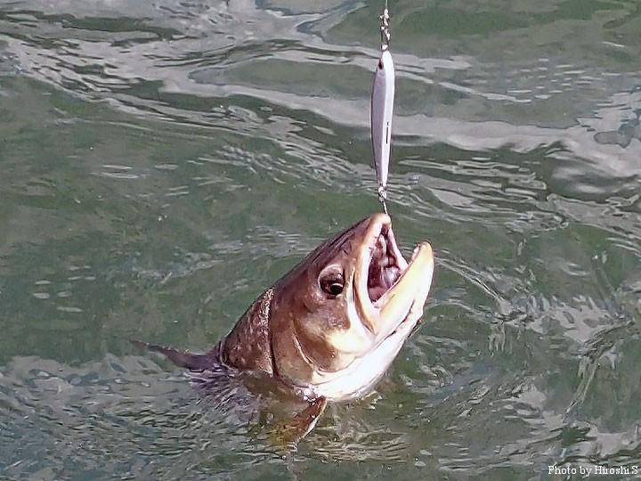 今回の阿寒湖は、ジギング的な釣法が効果的だった。