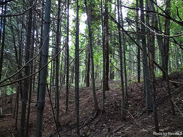 まだ、青々としているカラマツ林。それでも、ところどころにラクヨウの姿があった。