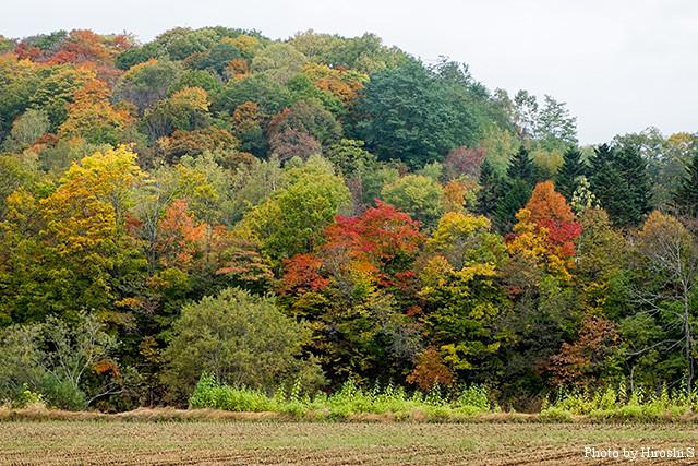 蘭越付近の紅葉 畑の向こうが尻別川である。