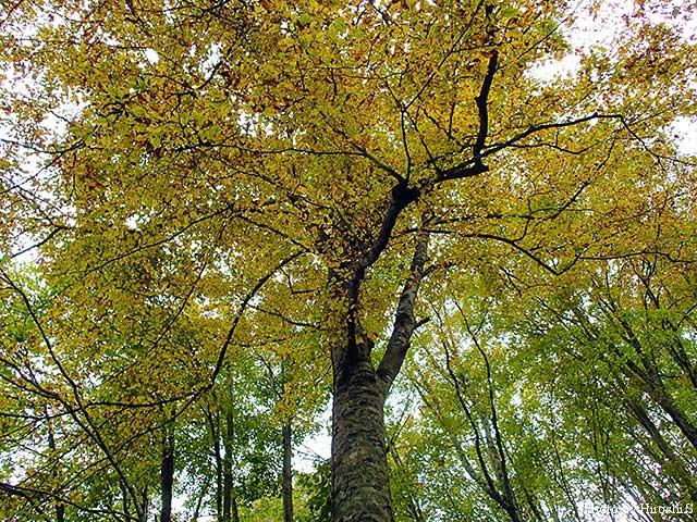 この流域で恐らく一番立派なブナの木。根元は岩から生えている様に見える。