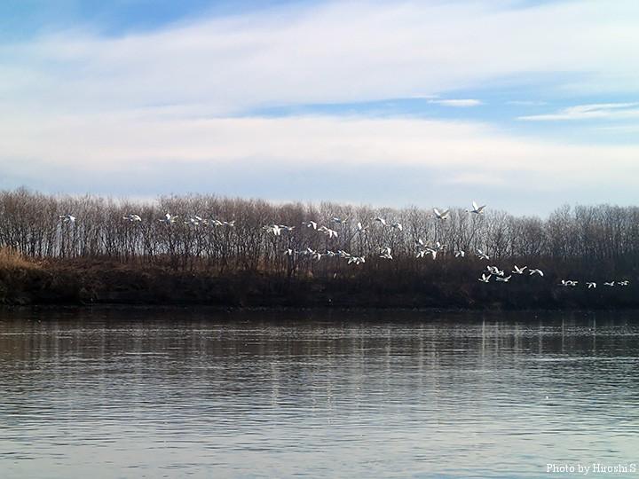 白鳥の群れが、僕の前を横切っていった。