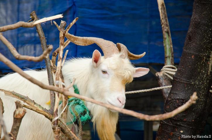 石垣島 明石集落の山羊