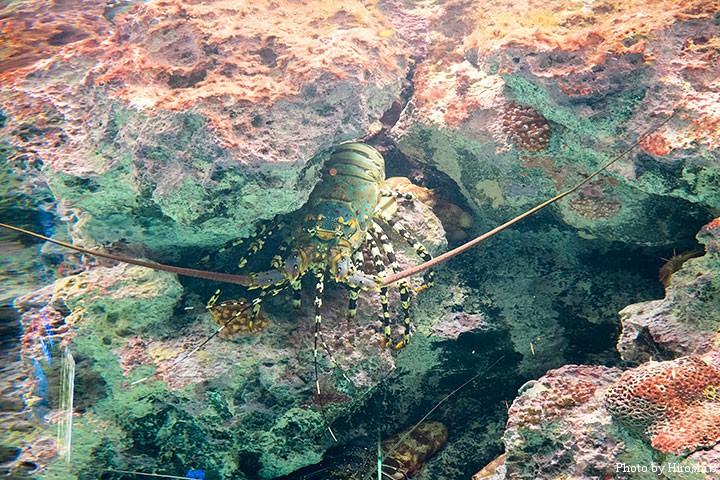 美ら海水族館にて ニシキエビ(イセエビより大型に育つ)
