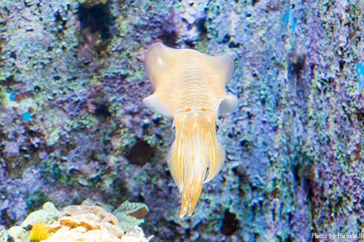 美ら海水族館にて アオリイカ 沖縄では白イカと呼ぶようだ。