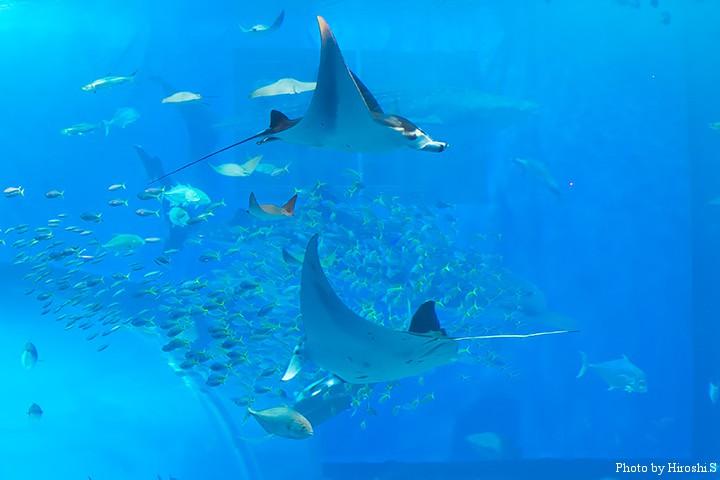 美ら海水族館にて マンタ(オニイトマキエイ)のランデブー