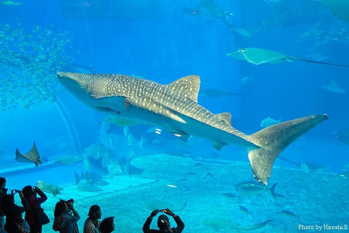 美ら海水族館にて ジイベイザメ