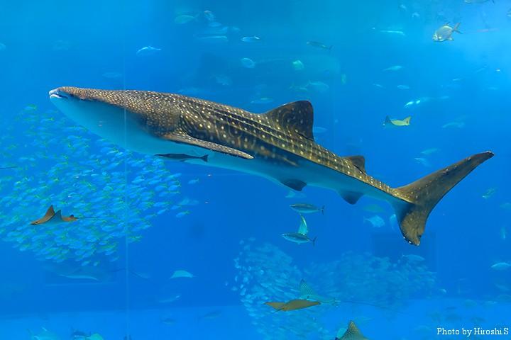 美ら海水族館にて ジンベイザメ