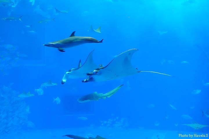 美ら海水族館にて マンタのランデブーとマダライルカ