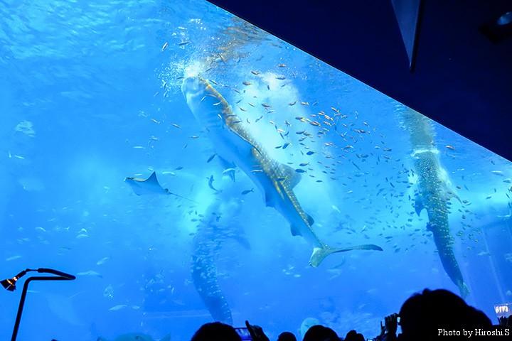 黒潮の海 ジイベイザメの給餌シーン 水面に投入されたオキアミなどを一気に吸い込む