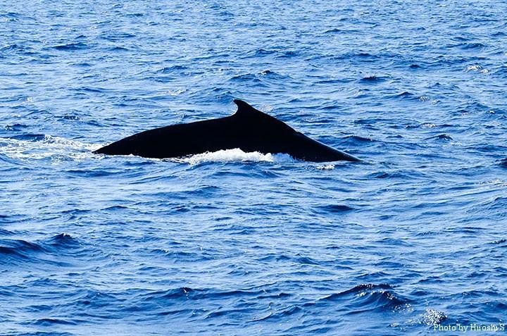 本部沖のザトウクジラ