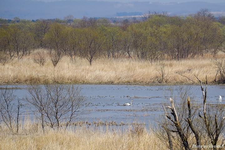 十勝川下流部の沼と若葉の木々