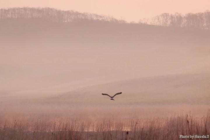 魚を掴み飛び去るオジロワシかオオワシの若鳥