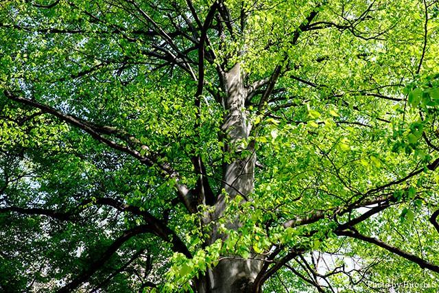北大植物園 園内のブナ巨木