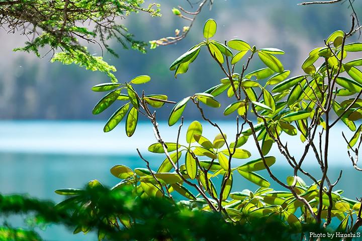 帰りに立ち寄ったオンネトー 逆光で輝く木々の葉を。