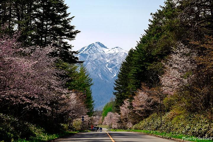 富良野 38号線沿いの桜並木と芦別岳