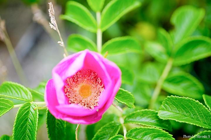豊北原生花園にて まだ開ききっていないハマナスは、バラの原種ということも頷ける