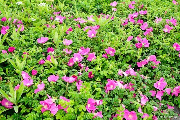 豊北原生花園のハマナス群落