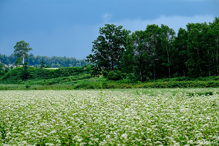 幌加内町の蕎麦畑