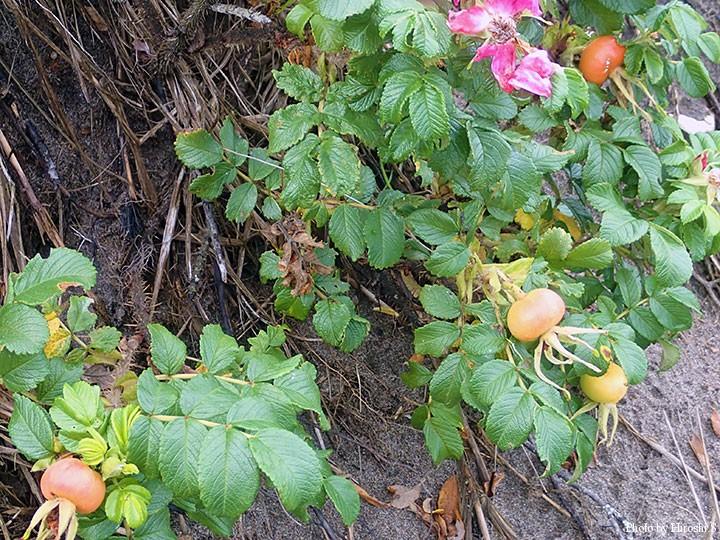 以久科原生花園にて ハマナスの実が色づいてきた 既に秋の気配