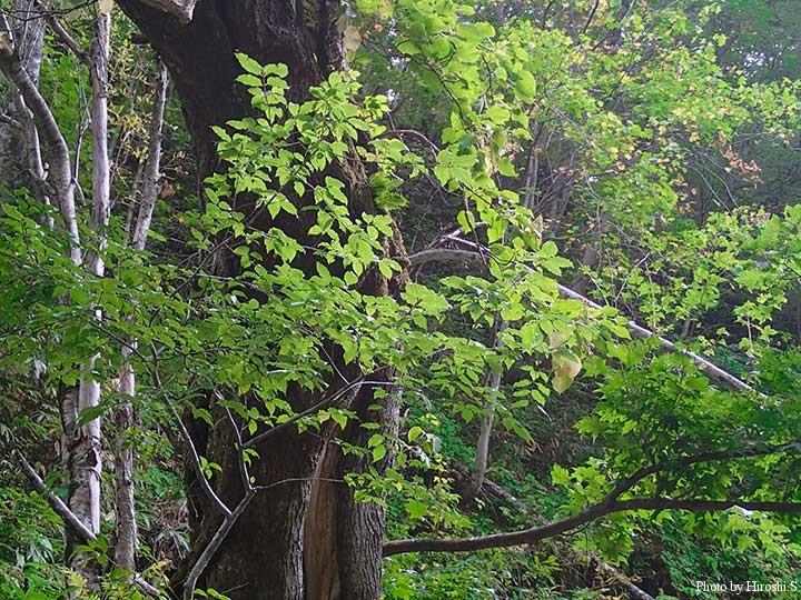 ブナをはじめとする広葉樹の林