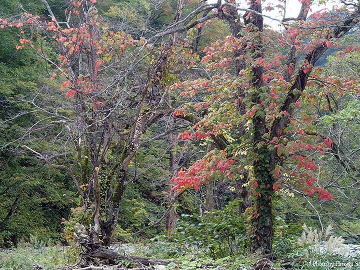 紅葉とブナハリタケ(左の樹木上)