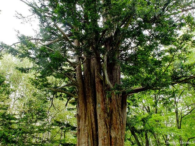 推定樹齢1300年ほどと言われるイチイの巨木