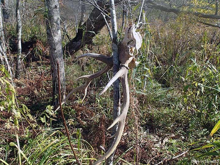川沿いにあった頭骨付の鹿角 付近は羆の糞が多かった