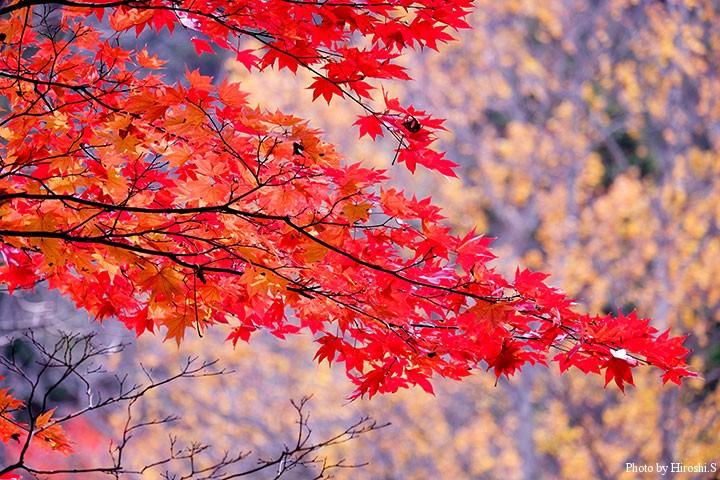 阿寒の紅葉