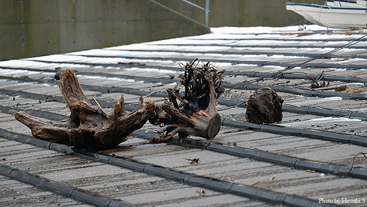 先日の時化(しけ)で漁港の斜路に打ち上がったのであろう。