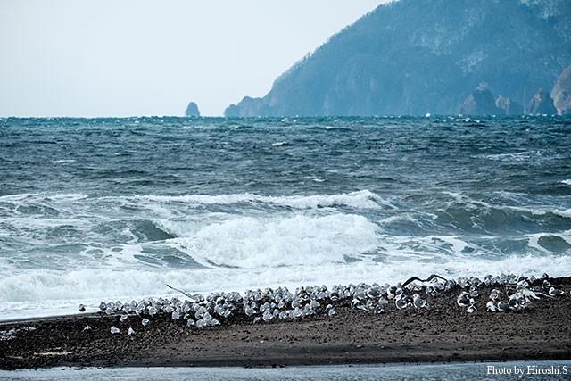 豊浦海岸にて カモメが岸際に群れていた。