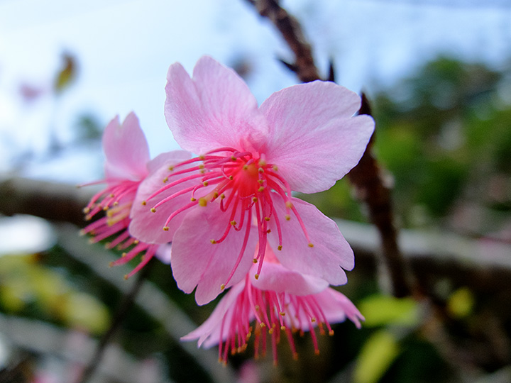 八重岳の寒緋桜(緋寒桜)