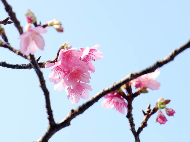 沖縄の寒緋桜