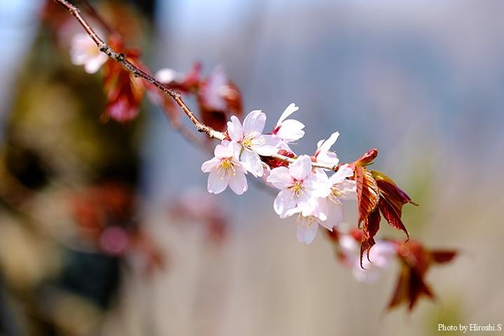 例年より開花が早い今年の春