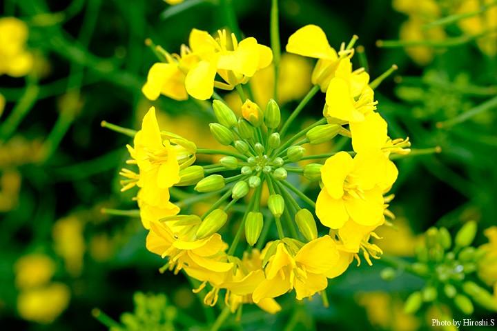 西別川の帰りに立ち寄った江部乙の菜の花