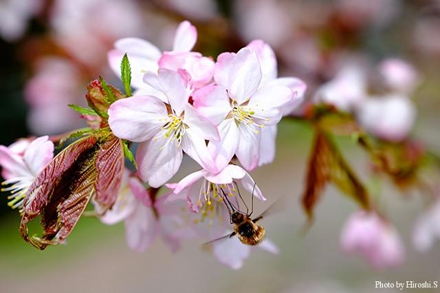 山にはまだ桜が咲いていた