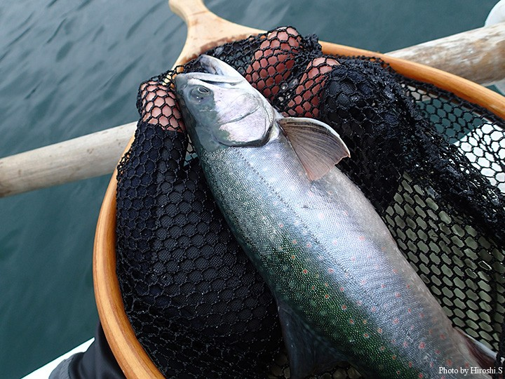 朱点が薄い個体が多いのだが、この魚は綺麗な色をしていた