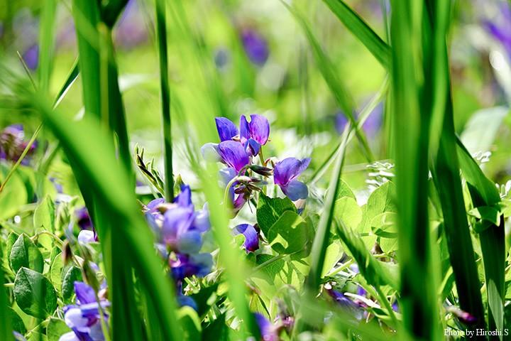 ハマエンドウが咲き誇っていた 写真では判らないが大群落である