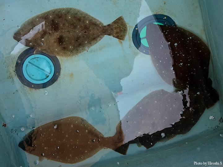 こうした釣りで魚を記念撮影することがないので、ヒラメの写真はケータイで撮影したこれしかない