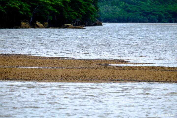 浦内川にて 砂の上にみえる黒い点は全てミナミコメツキガニである