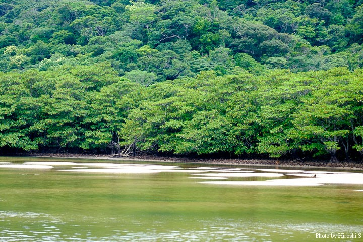 浦内川にて 潮が引いて川原が現れてきた