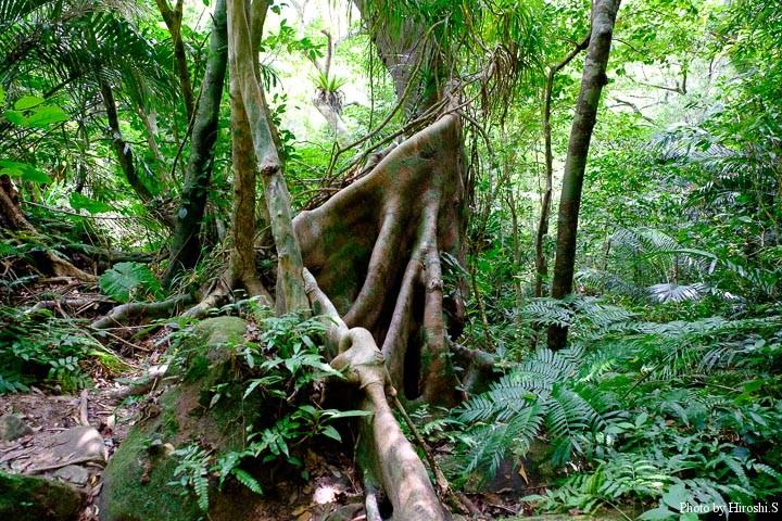 ギランイヌビワか 板根と呼ばれる根が発達している