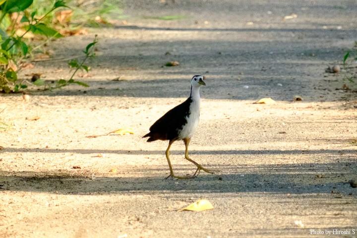 シロハラクイナは道路脇で良く見かけるが、なかなか撮影チャンスが少ない鳥だ