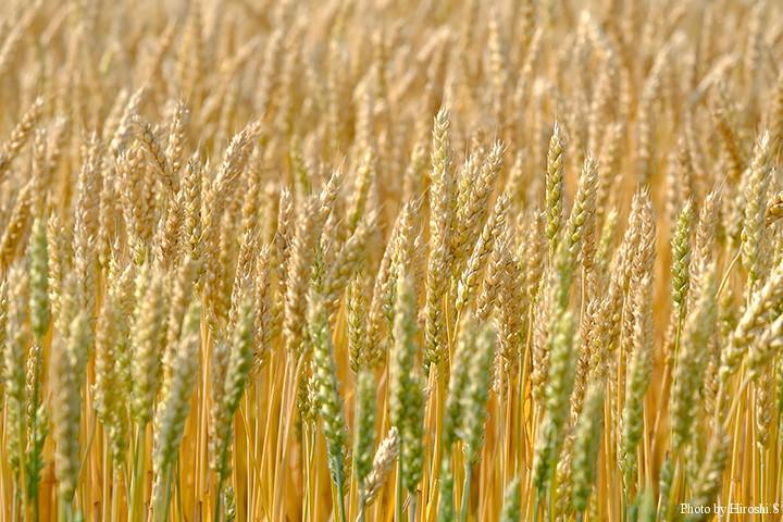 小麦ももうすぐ収穫を迎える。そんな頃、十勝のヤマメも錆びてくるのだ。