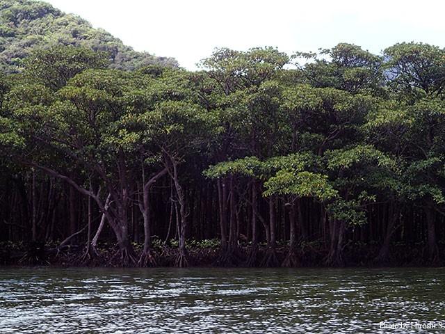 西表島 浦内川のマングローブ林